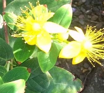 Heilpflanze des Monats Juli/August: Johanniskraut (Hypericum perforatum)