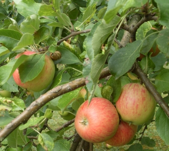 Heilpflanze des Monats Oktober: Apfelbaum :